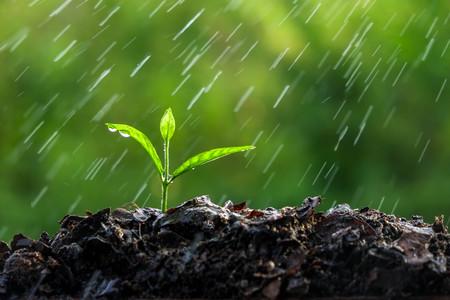שתיל בגשם