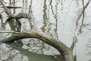 שורשי עץ במים